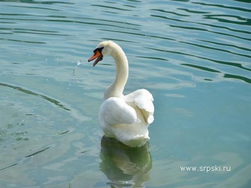 Лебедь на озере Блед